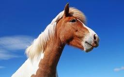 Исландская лошадь стоковая фотография