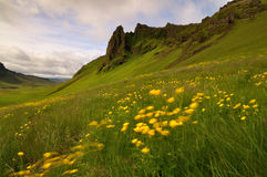 Исландская долина горы покрытая желтыми цветками в ветреной погоде Стоковое Фото