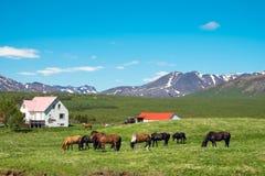 Исландская ферма с лошадями Стоковые Изображения