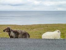 Исландские овцы в Исландии Стоковое Изображение