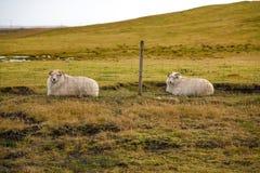Исландские овцы на желтом поле, Исландии Стоковые Изображения RF