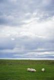 Исландские овцы пася Стоковое Изображение