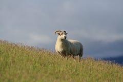 Исландские овцы Стоковое Фото