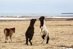 Исландские лошади воюя друг против друга Стоковая Фотография RF