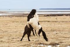 Исландские лошади воюя друг против друга Стоковое фото RF