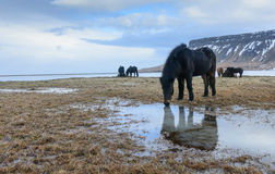 Исландские лошади в сельской местности Стоковое Изображение
