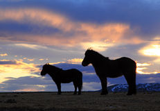 Исландские лошади на восходе солнца Стоковая Фотография