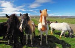 Исландские лошади. стоковое изображение rf
