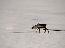 Исландские олени Стоковое Фото