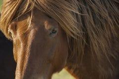 Исландский коричневый конец-вверх лошади Стоковое Изображение
