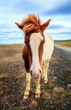 Исландский пони Стоковое Изображение