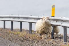 2 исландских овцы Стоковые Фотографии RF