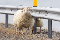 2 исландских овцы Стоковая Фотография RF