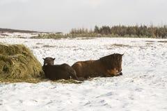 2 исландских лошади в зиме Стоковое Изображение