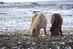2 исландских лошади в wintertime Стоковые Фотографии RF