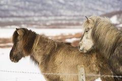 2 исландских лошади в wintertime Стоковая Фотография