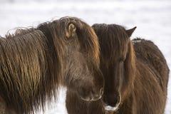 2 исландских лошади в wintertime Стоковые Изображения RF