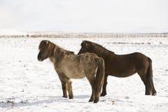 2 исландских лошади в wintertime Стоковое Фото