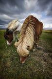 2 исландских лошади есть траву Стоковая Фотография RF