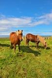 2 исландских лошади залива Стоковые Изображения RF