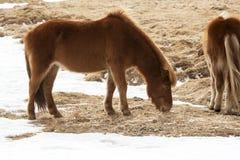 2 исландских лошади на луге весной Стоковые Изображения RF