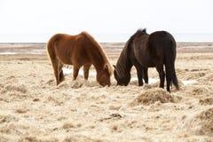2 исландских лошади на луге весной Стоковое Фото