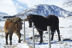2 исландских лошади на луге в зиме Стоковое Фото