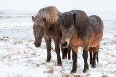 2 исландских лошади на луге зимы Стоковые Фотографии RF