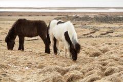 2 исландских лошади на луге Стоковые Изображения RF