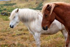 2 исландских лошади от взгляда со стороны Стоковое Изображение