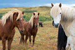 3 исландских лошади смотря камеру Стоковые Фотографии RF