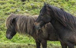 2 исландских лошади с гривами Стоковая Фотография RF