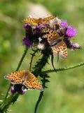 Италия, Ломбардия, Foppolo, thistle цветка с бабочкой Стоковые Изображения