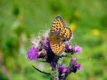 Италия, Ломбардия, Foppolo, thistle цветка с бабочкой Стоковое Изображение