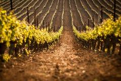 Итальянский ландшафт виноградника Стоковое Изображение RF