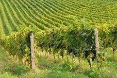 итальянский сельский виноградник стоковое изображение rf