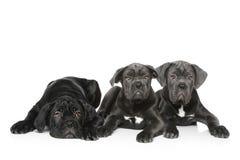итальянский щенок 3 mastiff Стоковые Изображения