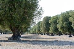 Итальянское оливковое дерево Стоковые Изображения RF