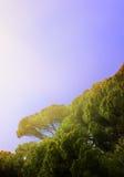 Итальянская сосна в утре Стоковое фото RF