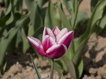 Итальянские тюльпаны Стоковое Изображение