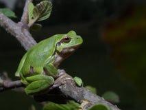 Итальянское intermedia Hyla древесной лягушки Стоковые Изображения