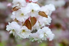 дифференциал вишни цветения цветет макрос фокуса светлый естественный стоковые фотографии rf