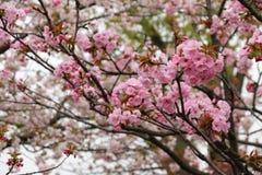 дифференциал вишни цветения цветет макрос фокуса светлый естественный Стоковое Изображение RF