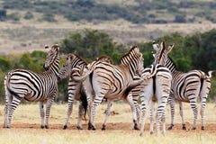 Ишаки - зебра Burchell Стоковое Изображение RF
