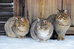 3 идентичных кота сидят на деревянном крылечке Стоковые Изображения