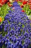 Идея сада: Путь цветка Muscari Стоковое фото RF