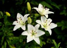лилии белые Стоковое Изображение RF