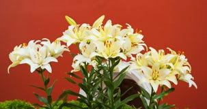 лилии белые Стоковые Изображения