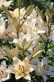 лилии белых цветков растя в цветнике Стоковые Изображения