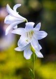 лилии лилия madonna, белая лилия, цветет весна Стоковое Изображение